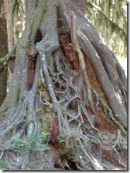 Hon Rainforest roots