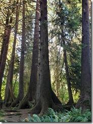 Hon Rainforest trees in a row