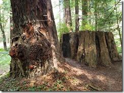 Navarro River Redwoods State Park (10)